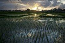 Rice Fields Near Ubud — Stock Photo
