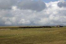 Troupeau de moutons pâturage — Photo de stock
