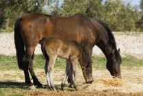 Andaluz cavalo com potro — Fotografia de Stock