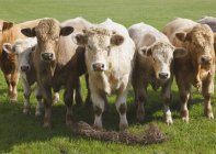 Cattle Lined Up — Stock Photo
