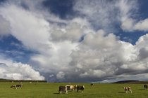 Cattle Grazing In Field — Stock Photo