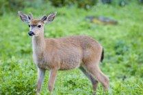 Mule Deer In A Meadow — Stock Photo