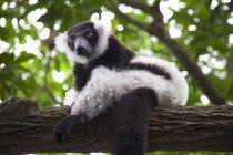 Weiß und schwarz Ruffed Lemur — Stockfoto