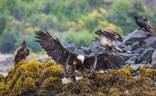 Matures Eagles têtes chauves — Photo de stock