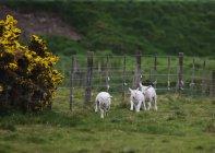 Три вівці стояти в поле вздовж паркан — стокове фото