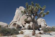 Юкка дерево в пустыне, Калифорния — стоковое фото