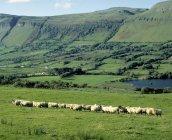 Sheep, Ben Bulben, Ireland — Stock Photo