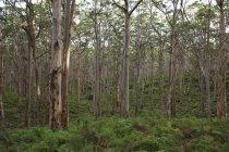 Árboles de Karri en el bosque Boranup - foto de stock