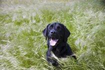 Pose de chien dans l'herbe longue — Photo de stock