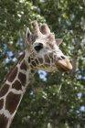 Жираф головы и лица — стоковое фото
