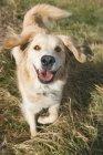 Cão de raça misturada — Fotografia de Stock