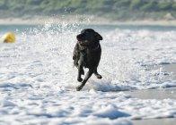 Cachorro correndo na maré ao longo da praia — Fotografia de Stock
