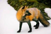Fox, je regarde derrière lui — Photo de stock