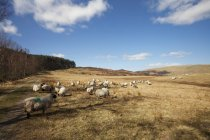Sheep Grazing In Field — Stock Photo