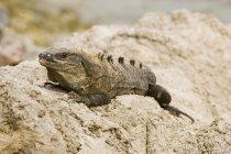 Iguane vert sur les rochers — Photo de stock