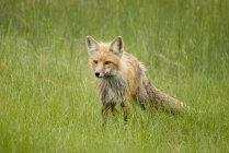 Красный Foxin принц Альберт национального парка — стоковое фото