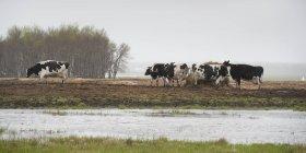 Vacas que pastam em um campo ao lado de uma área de inundação; Manitoba, Canadá — Fotografia de Stock