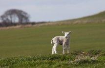 Allein kleine Lamm — Stockfoto