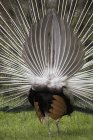 Rear Of Peacock With Feathers — Stock Photo