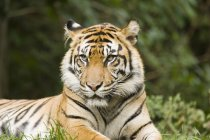 Siberian Tiger on green grass — Stock Photo