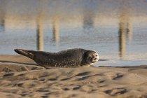 Leone marino che riposa — Foto stock