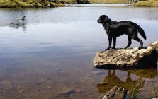 Dog on stone  Looking At Goose — Stock Photo
