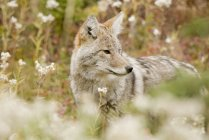 Young Coyote In Forest — Stock Photo