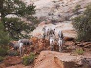 Mountain Goats Climbing — Stock Photo