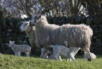 Moutons et agneaux de soins infirmiers — Photo de stock