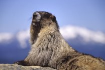 Marmotta all'aperto durante il giorno — Foto stock