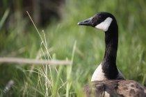 Oca del Canada in erba — Foto stock