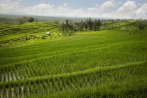 Райс-Филдс, Джатилуви, Бали , — стоковое фото