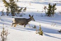 Олень, пересекая Снежное поле. — стоковое фото