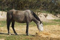 Андалузской Лошади выпаса на Сене — стоковое фото