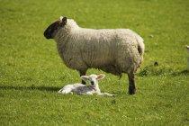 Pecora adulta con agnello — Foto stock