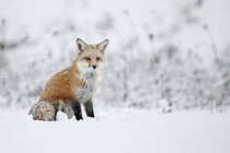 Fox, assis dans la neige — Photo de stock