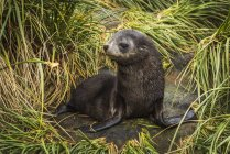 Antarctic Fur Seal pup — Stockfoto