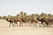 Верблюди, прогулянки в пустелі — стокове фото
