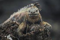 Iguana marina appollaiato in alto — Foto stock