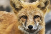 Red fox looking at camera — Stock Photo