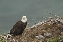Лисий орел, сидячи поруч з гнізда з poults, розмитість фону — стокове фото