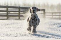 Собака работает в снегу — стоковое фото