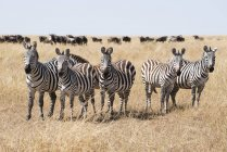 Line of five zebra — Stock Photo