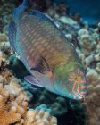Pez loro exótico nadando en el océano cerca de coral - foto de stock
