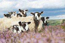 Mula gimmer cordeiros — Fotografia de Stock