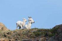 Dall sheep ewe and her lamb — Stock Photo