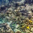 Mezcla de especies de peces cirujano alimentándose - foto de stock