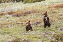 Twin cub Grizzly bears — Stock Photo