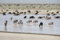 Große Gnu-Herde — Stockfoto