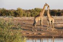 Famiglia giraffa della Namibia — Foto stock
